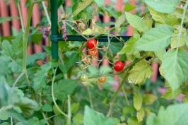Sunburst tomatoes fresh from the garden!